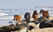 """شاهد بالصور..روعة الخيول البرية لجزيرة """"سابل الكندية"""""""