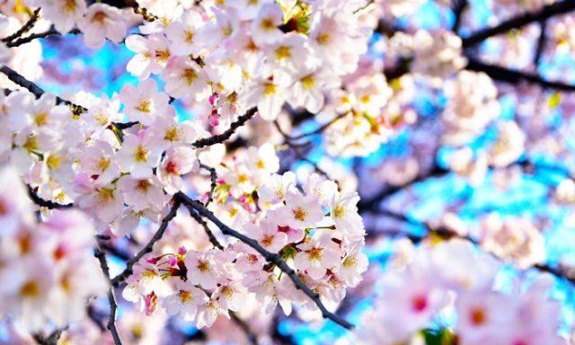 10 صور رائعة تصف جمال أزهار الكرز في طوكيو اليابان