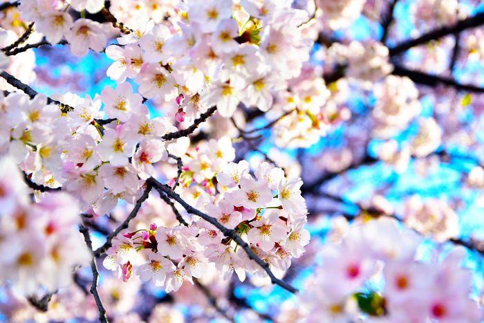 10 صور رائعة تصف جمال أزهار الكرز في طوكيو اليابان 6