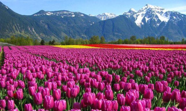 """بالصور:حقول توليب(الخزامى) """"هولندا"""" الأسيرة..روعة ألوان الطبيعة (12)"""