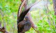 """شاهد بالصور أفضل الطيور المقلدة في العالم """"طائر القيثارة"""" Lyrebird"""