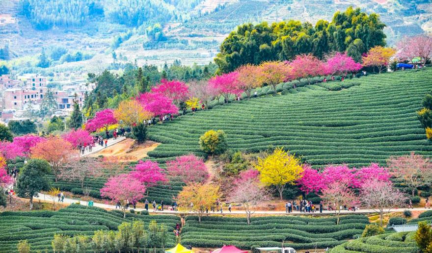 أزهار الكرز: واحدة من أروع المعالم السياحية على الكوكب(20 صورة) 1
