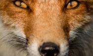 11 صور مذهلة تبرز ثعالب أمستردام البرية!
