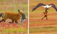 شاهد:مصور يطلق الأضواء على معركة ملحمية بين الثعلب والنسر على الأرنب(13 صورة)