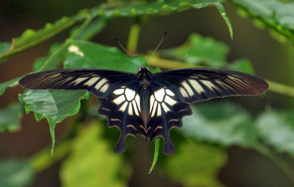 الفراشة السريلانكية