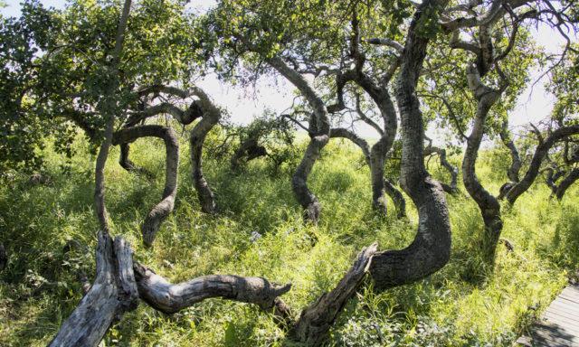 ماهو سر الأشجار الملتوية أو العوجاء في هافرد ولماذ تنمو بهذا الشكل الغريب؟