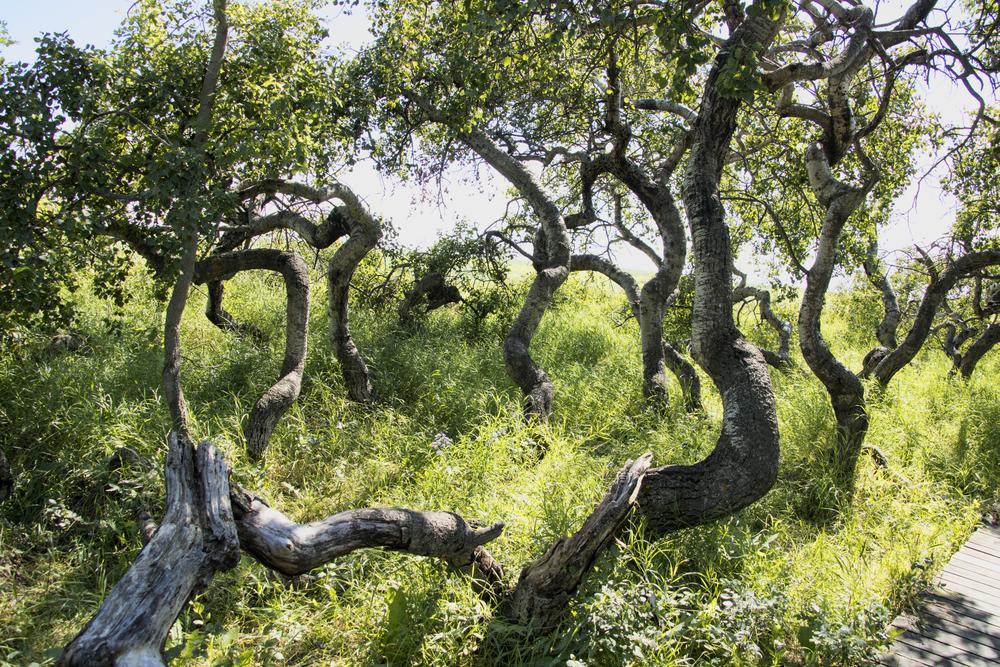 الأشجار الملتوية