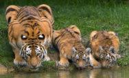 لقطات احترافية لنمر يشرب الماء ويظهر ما يعرف ب eyespot!