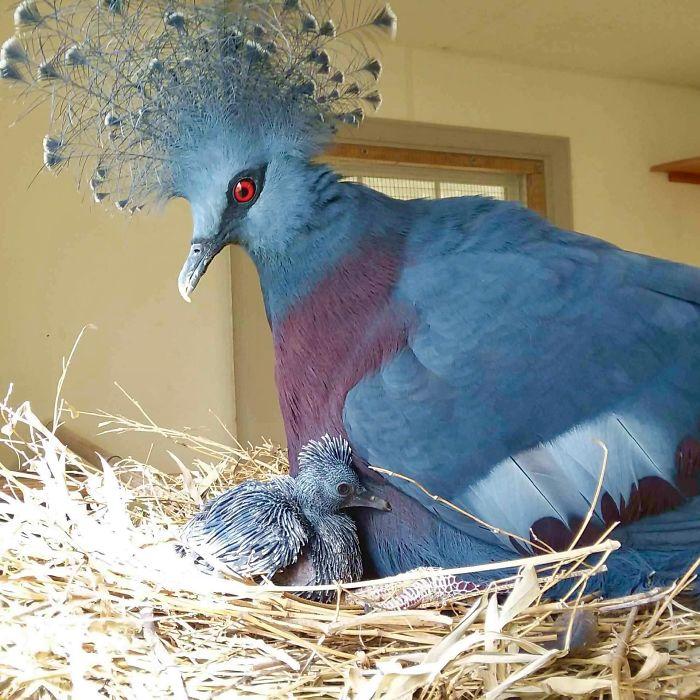 معلومات حول الحمام المتوج الفيكتوري، أحد أجمل الطيور على الإطلاق!