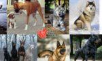 أشرس عشر كلاب في العالم