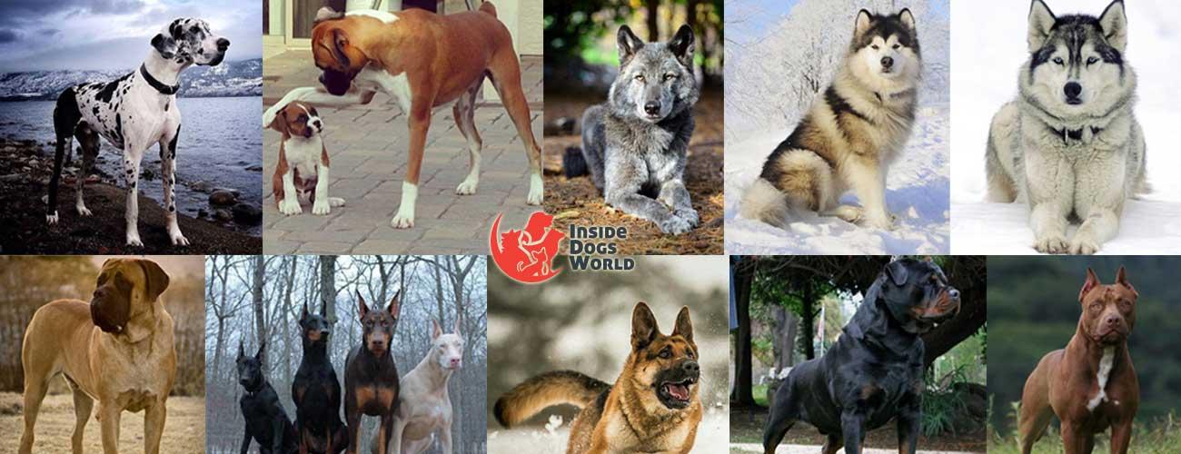 أشرس عشر كلاب في العالم 40