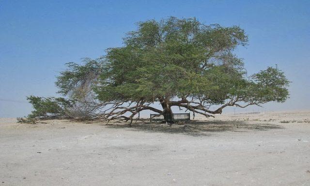 شجرة الحياة في البحرين: معجزة البقاء في الصحراء