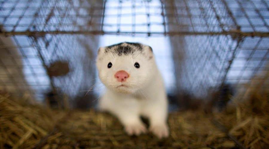 دراسة جديدة تثبث ان حيوان المنك ناقل جديد لفيروس كورونا الى البشر