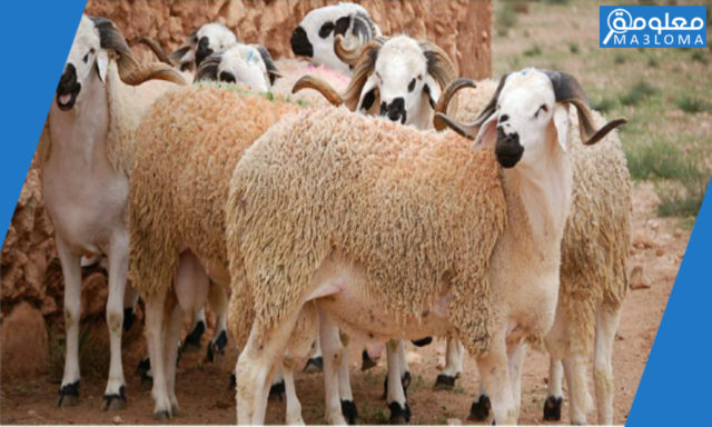 كيف تختار خروف العيد ؟ نصائح هامة قبل شراء الأضحية