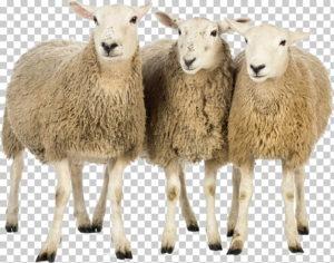 خروف العيد png