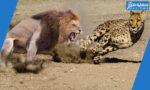 هل الفهد اسرع من الاسد .. وماهو اسرع حيوان في العالم ..