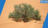 نبات الرمث وعلاقته بانتشار مرض اللشمانيا في السعودية …