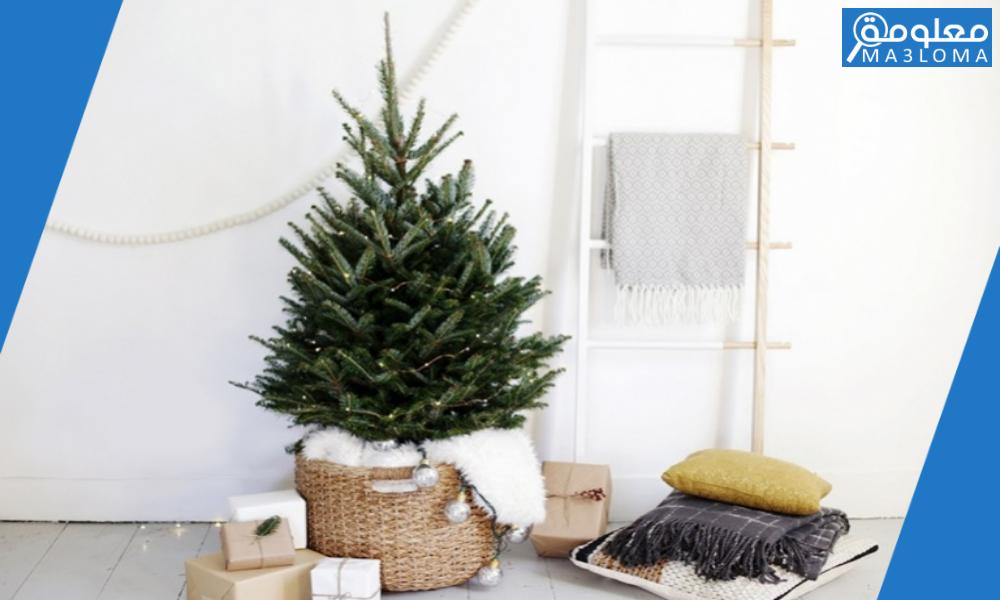 شجرة الكريسماس بتطرح ايه ؟