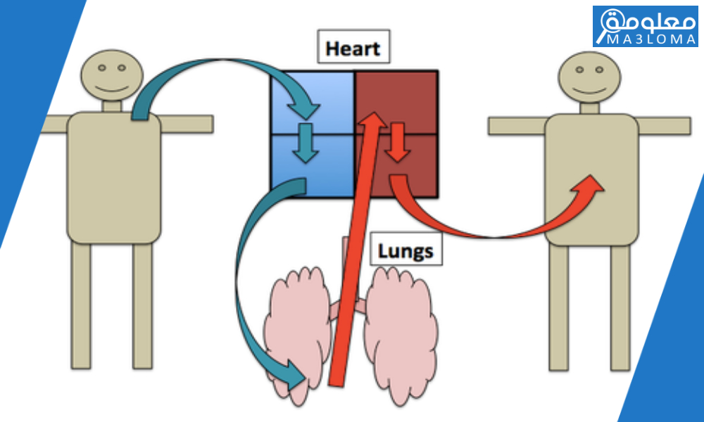 لماذا يضخ القلب الدم إلى الرئتين قبل ضخه إلى بقية الجسم .. اجابة كاملة
